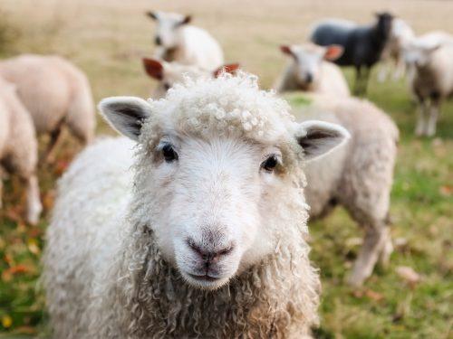 Dobrostan zwierząt a islam